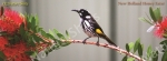 mug, set of coasters, honey eater,bird, new holland honey eater, nature, Australia, photo, photography, oz nature shots