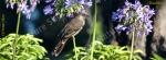 mug, wattle bird, bird, nature, Australia, photo, photography, oz nature shots