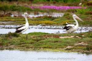 pelicans Western treatment Plant Werribee