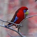 CrimsonRosella_CoasterSet