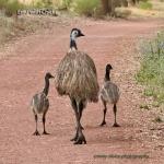 Emu_withChicks_CoasterSet