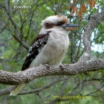 Kookaburra_CoasterSet