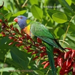 RainbowLorikeet_CoasterSet