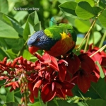 RainbowLorikeet_CoasterSet_1