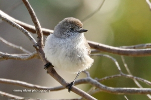 Chestnut-rumped Thornbill (25)