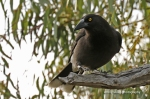 Grey Currawong (1028)